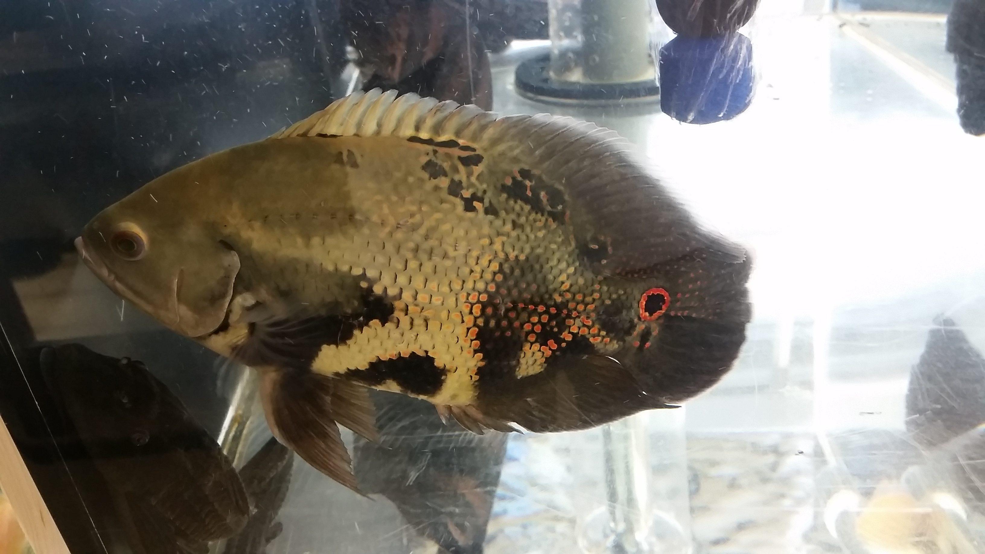 アクアライク 愛知県安城市 水槽販売・買取/大型魚(熱帯魚)販売/淡水エイ