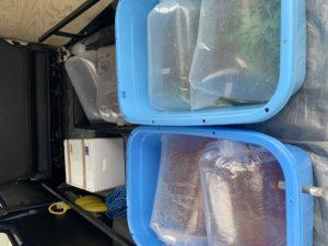 弥富金魚入荷!!|アクアライク|愛知県安城市|水槽販売・買取/大型魚(熱帯魚)販売/淡水エイ