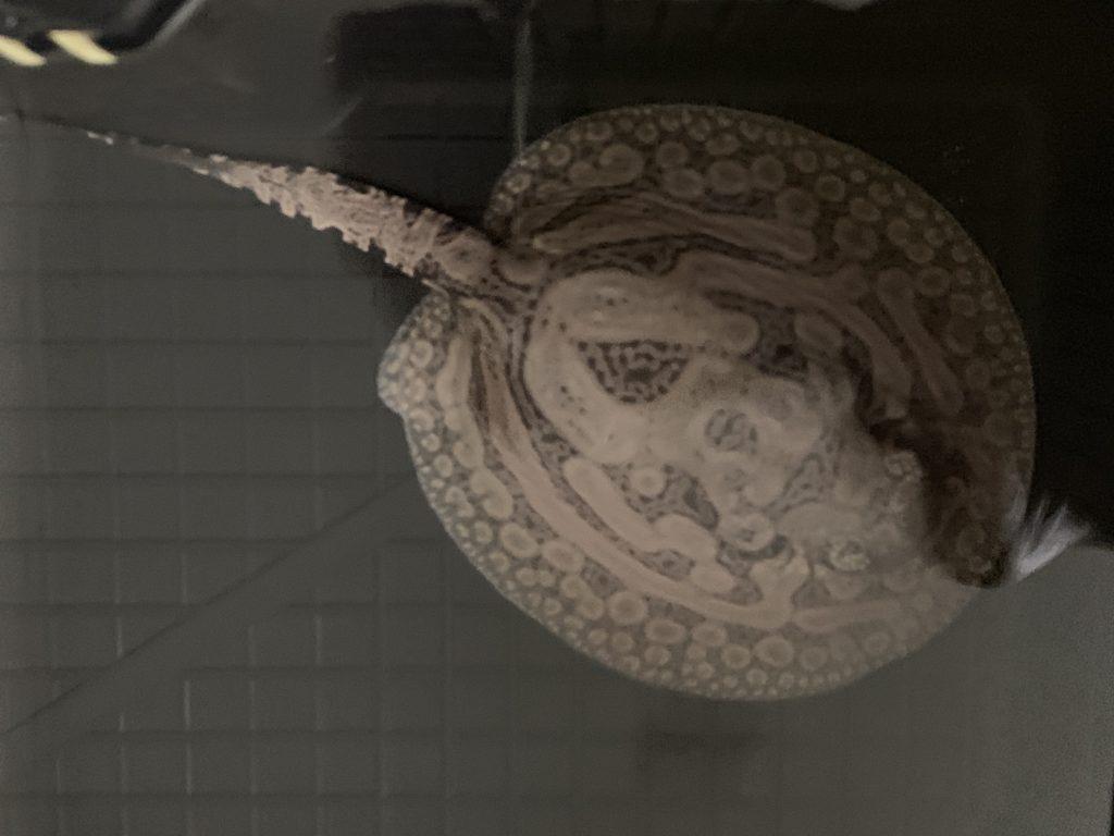 淡水エイ ヒストリックス繁殖成功!!|アクアライク|愛知県安城市|水槽販売・買取/大型魚(熱帯魚)販売/淡水エイ