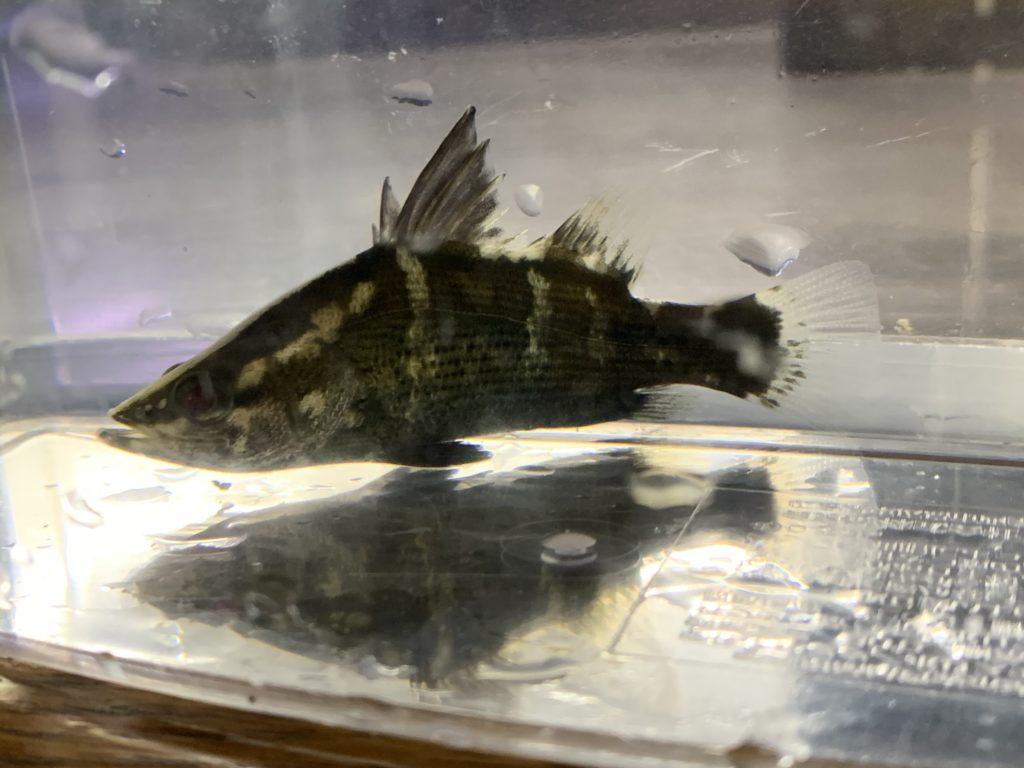 アカメMサイズ入荷!!|アクアライク|愛知県安城市|水槽販売・買取/大型魚(熱帯魚)販売/淡水エイ