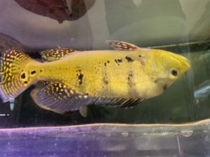 ケルベリー ブランコ川産入荷!!|アクアライク|愛知県安城市|水槽販売・買取/大型魚(熱帯魚)販売/淡水エイ